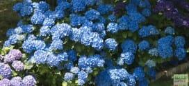 Des hortensias bleus de toute beauté…