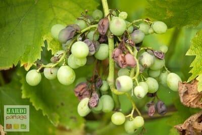 Tailler la vigne en été