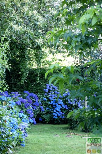 comment avoir des hortensias bleus
