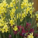 idée de potée fleurie bulbes
