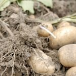 Buttes de pommes de terre