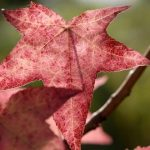 couleurs automne liquidambar