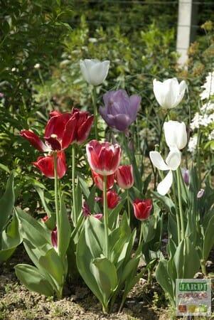 mélange de tulipes horticoles