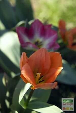tulipes fosteriana en mélange