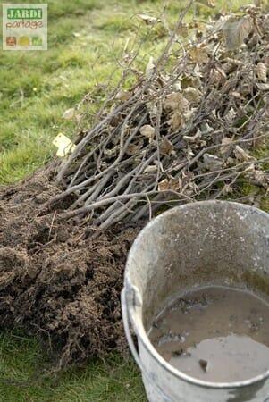Praliner des racines de charmilles