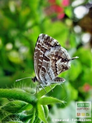 brun du p largonium papillon du g ranium jardipartage