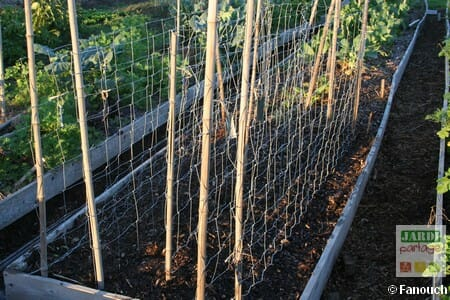 Semer le petit pois en automne jardipartage - Quand semer les petit pois ...