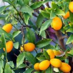 Entretien kumquat fortunella