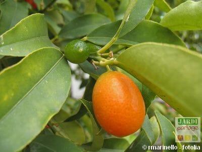 Entretien kumquat
