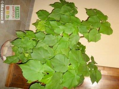 Sparmannia africana interieur