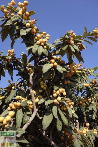 fruits du neflier