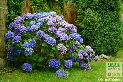 Hortensia bleu ouest