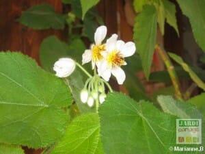 sparmannia en fleurs