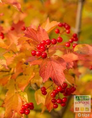 Viorne obier en automne