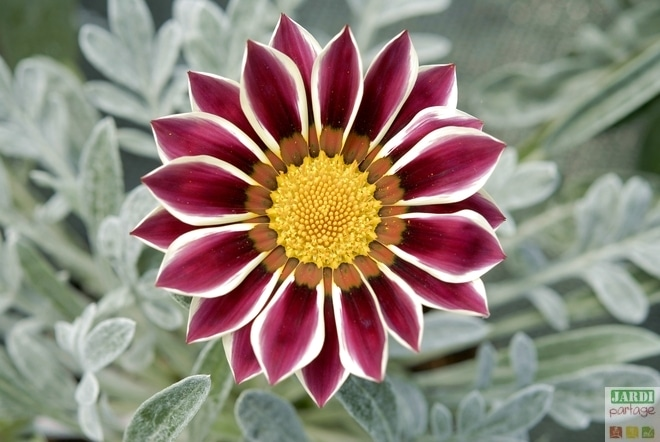 Gazania splendens superbe en massif jardipartage for Plante pour bordure plein soleil