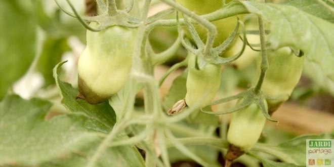 maladie tomate cul noir