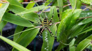 araignée frelon