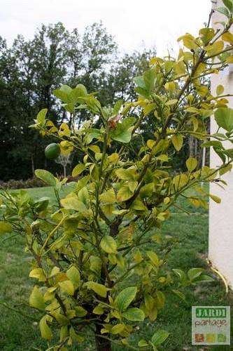 citronnier mineuse des agrumes