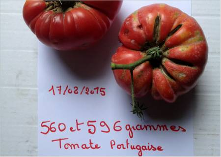 grosse tomate portugaise