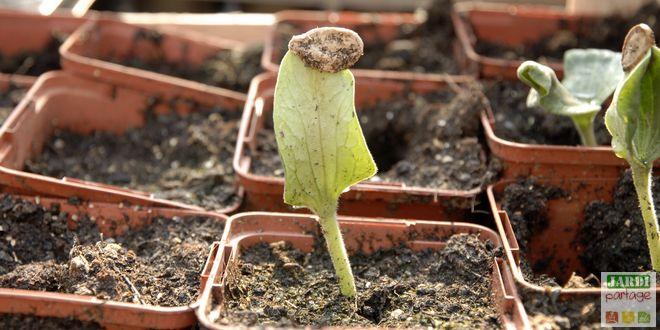 semer des courges