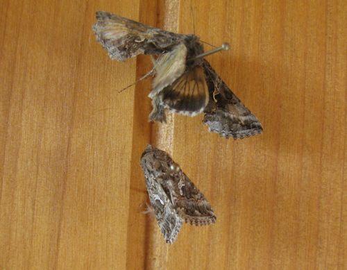 Nocutelle papillon du Sparmannia