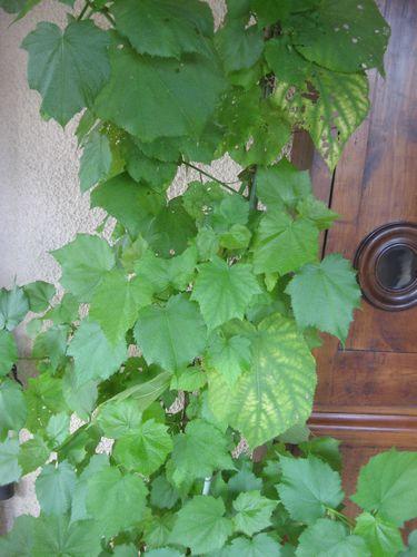 Sparmannia convalescent