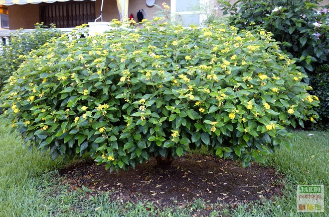 Lantana plante et jardin