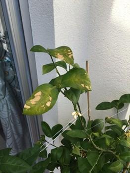 Taches brunes sur feuilles de citronnier