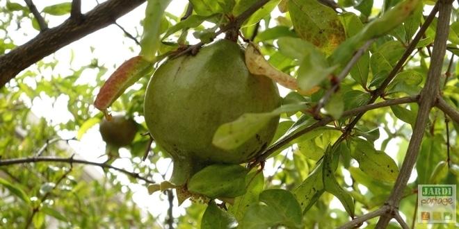 grenadier-arbre-fruitier