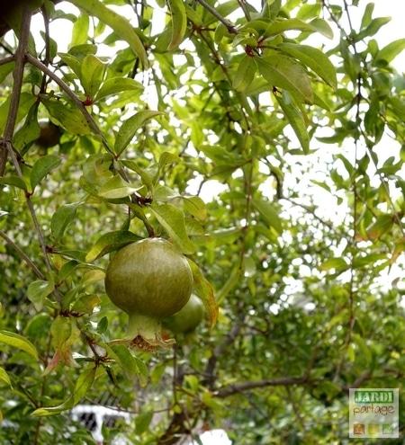 plantation-grenadier