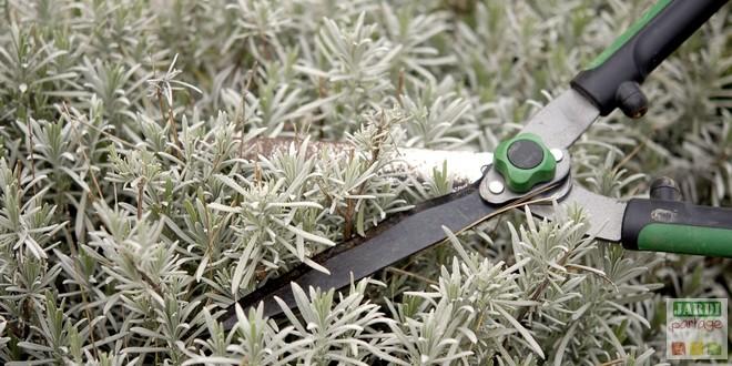 Taille de la lavande en fin d 39 t jardipartage - Comment tailler la menthe ...