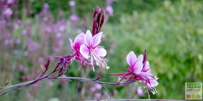 gaura-rose