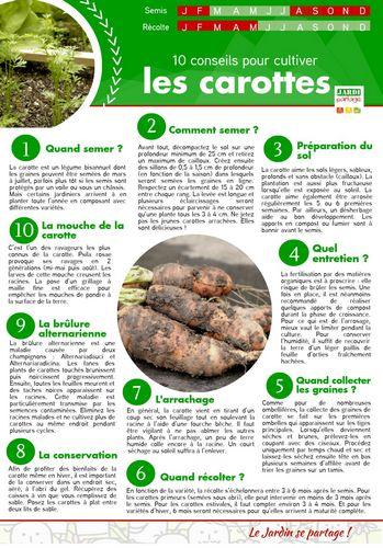 culture carotte 10 conseils