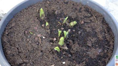 plantation agapanthe en pot