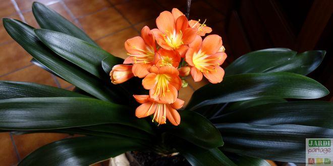 plante clivia