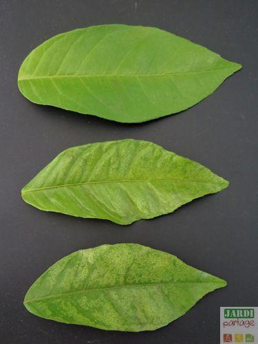 Chlorose citronnier