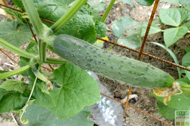 Comment planter les concombres concombre comment et quand planter les concombres comment - Quand planter les courgettes ...