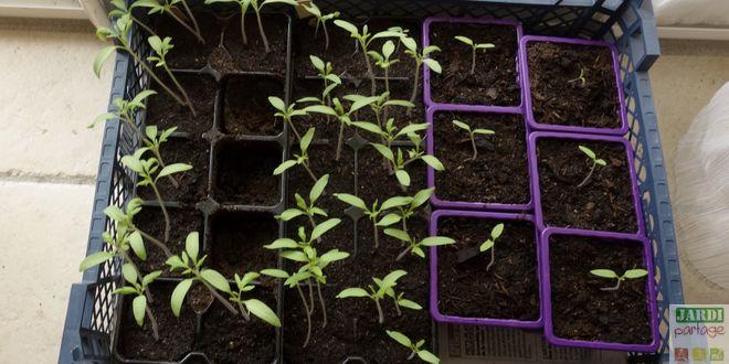 comment repiquer les tomates en godets ? | jardipartage