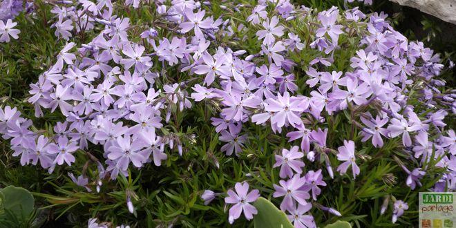Phlox rampant bleu culture et entretien jardipartage - Phlox vivace couvre sol ...