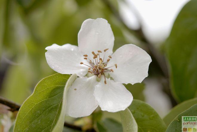 cognassier fleur