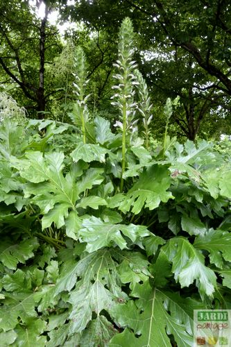acanthe plante medicinale