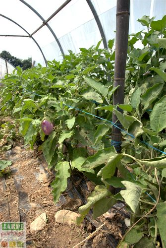 cultiver des aubergines sous serre