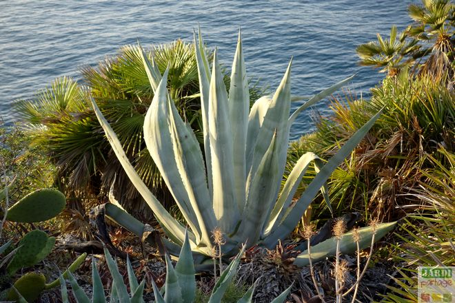 culture agave americana