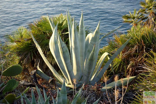 agave americana entretien
