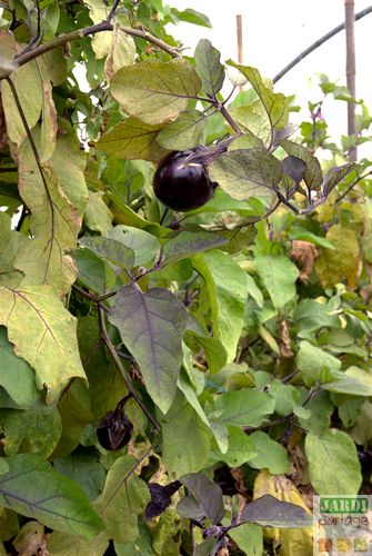 distance plantation aubergine