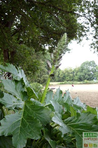 plante acanthe culture