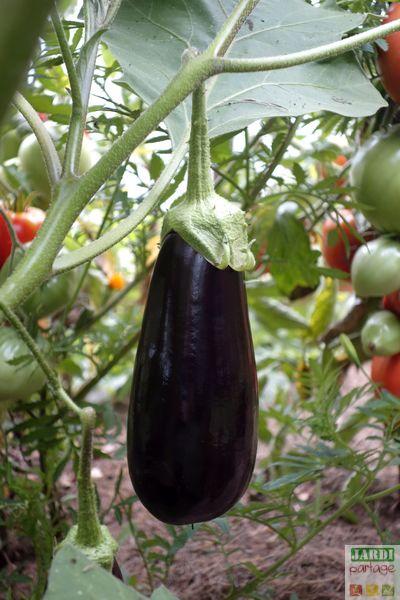 planter des aubergines au potager