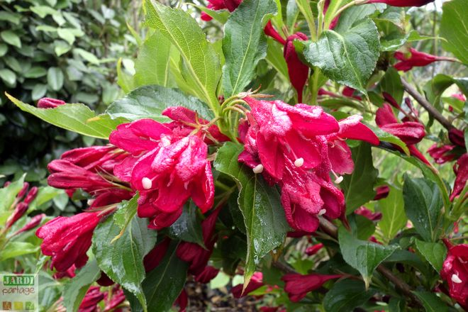 weigelia red prince rouge