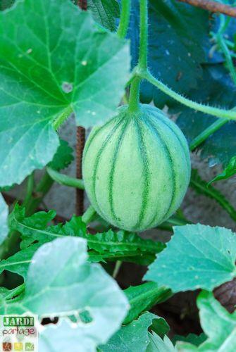 comment savoir quand recolter un melon