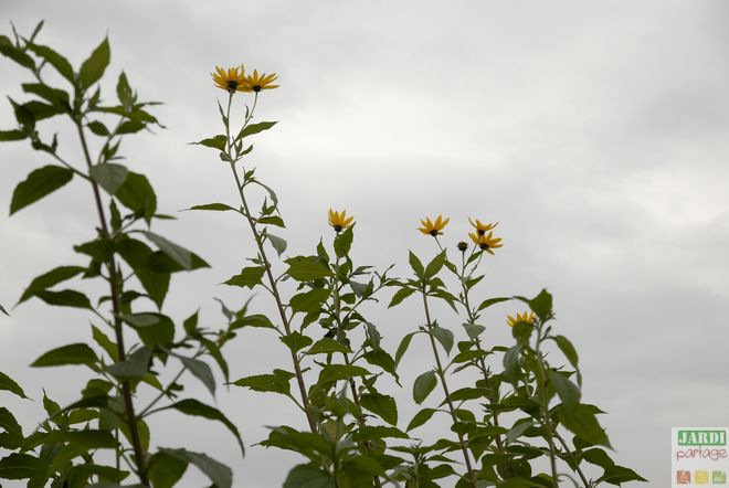 fleur et feuille de topinambour